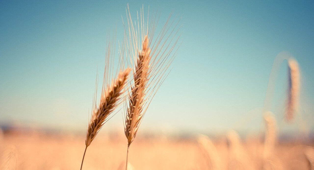 wheat, ear, dry-865152.jpg